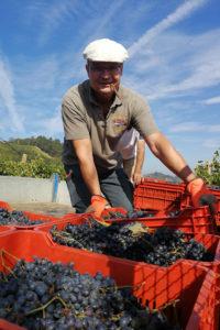 Weinlese im Rebberg in Sessame, Piemont