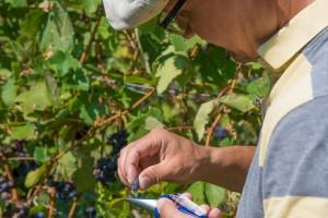 Testen des Zuckergehalts von roten Trauben